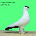 2011 Pigeon a calotte