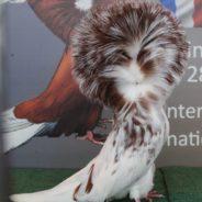 Pigeon Capucin Structure Club : demandez le programme !