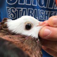 Journée technique des pigeons de couleur